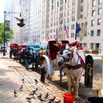 Horse Drawn Carriages Outside Central Park